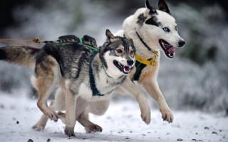 狗狗运动赛 法国狗拉雪橇竞赛开跑