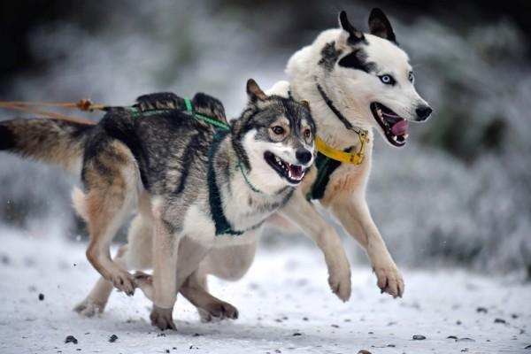 2016年1月19日,苏格兰费希布里奇,第33届阿维莫尔赫斯基雪橇犬竞逐比赛的参赛犬正在练习中。赛是将在本周末于阿维莫尔近郊的罗德径举行。(Jeff J Mitchell/Getty Images)