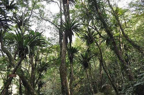 云心之谷,鸟巢(蕨)满树。 (图片提供:tony)