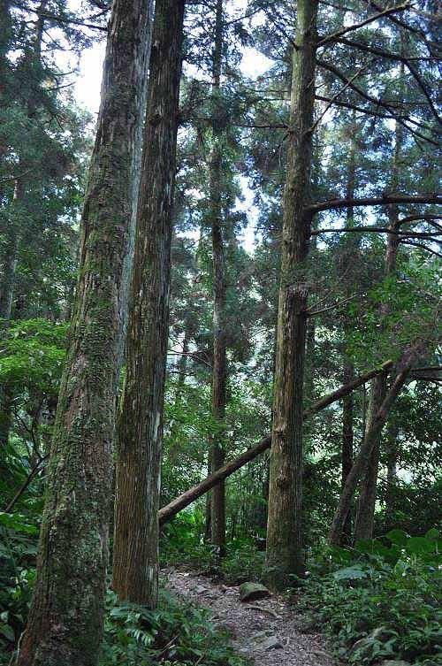 优雅杉林。 (图片提供:tony)