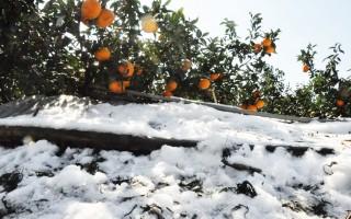 降低寒害损失 军方协助农友采收茂谷柑