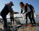 鱸魚凍傷,養殖業者連忙打撈,養了一年多的心血,只能廉賣。(李怡欣/大紀元)