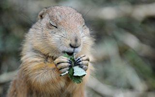 每年土撥鼠預報春天的到來已經成為一個傳統。(JULIAN STRATENSCHULTE/AFP/GettyImages)