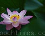 图为韩国首尔布拉梅公园内盛开的莲花。(摄影:全宇/大纪元)