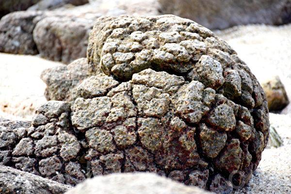 石英二长岩因状似菠萝包而被称为野外菠萝包,不过也有几分象破了壳的恐龙蛋化石。(孙明国/大纪元)