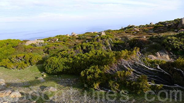 山顶发现树木灌丛明显矮小许多,这或许与山上的寒冷气候抑制生长有关?(华苜/大纪元)