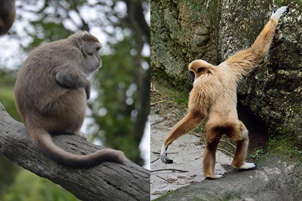 猴子跟猩猩同属灵长类,常常有人分不清楚两者之间有什么不同,台北市立动物说,首先可以看尾巴,猩猩没有尾巴,猴子则有。图为台湾猕猴与白手长臂猿。(台北市立动物园提供)(中央社)