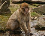 国人心中的猴子好动聪明,但常常失之轻浅,是可爱又带点滑稽的。(公共领域)