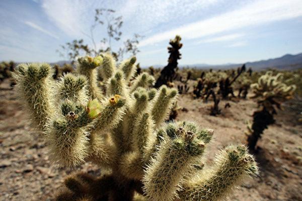 约书亚树国家公园的仙人掌。(GABRIEL BOUYS/AFP/Getty Images)