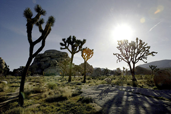 春日的约书亚树国家公园。(David McNew/Getty Images)