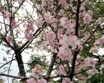 台北自来水事业处18日表示,自来水园区内所种植的樱花近期已盛开,包括有河津樱、吉野樱及八重樱,本周为最佳赏花期,欢迎民众趁元宵假期时节入园欣赏樱花美景。(北水处提供)