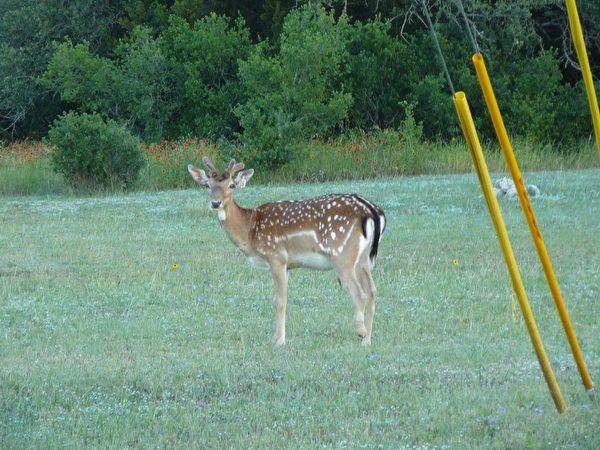 山區的「班比」。這隻我在山區用長鏡頭拍攝到的一頭幼鹿,長相溫馴可愛,有一點像台灣山區的梅花鹿,不過它們見人就躲,因為當獵季到來時,它們都成了狩獵者用以炫耀的戰利品,蠻可憐的。(謝行昌提供)