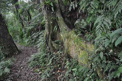 路旁大板根树。  (图片提供:tony)