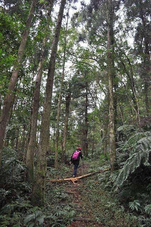 沿途有笔直的杉林。 (图片提供:tony)