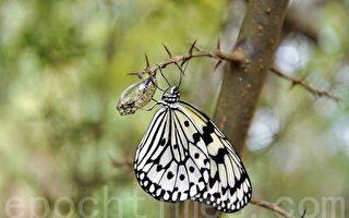 社顶自然公园蝴蝶复育有成,大白斑蝶正羽化成功。(李晴玳/大纪元)