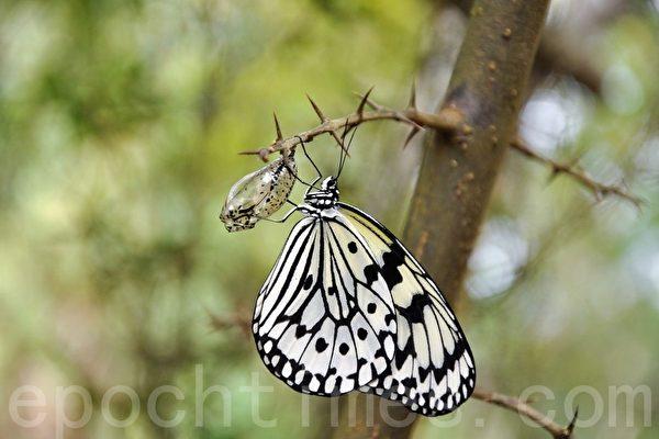 毛虫变彩蝶 昆虫变态让进化论者望而生畏