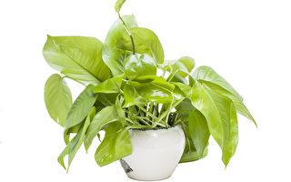 澳洲国立大学的研究揭示,植物可能可以去掉不再有用的记忆,以免耗用能量。图为植物盆栽。(Fotolia)