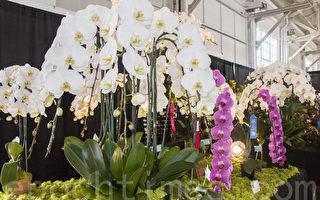 2月26日,太平洋兰花展在旧金山开幕。图为参展蝴蝶兰获奖作品。(李文净/大纪元)