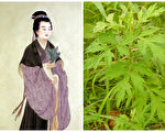艾草是醫病良藥,而史料有載的第一位用艾葉治病的神醫,恰是鮑姑。(大紀元合成圖)