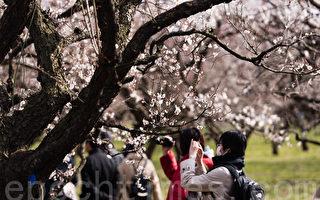 位于日本茨城县的偕乐园是日本关东地区著名的观赏梅花的名胜,每年的2月下旬到3月下旬都会举办盛大的赏梅庆典。花期各异,园内100种以上、3,000多株梅花绽放,疏影横斜、暗香袭来。从各地前来观赏梅花的游客络绎不绝。(游沛然/大纪元)