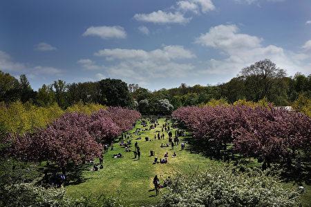 布鲁克林植物园内樱花树。(Spencer Platt/Getty Images)