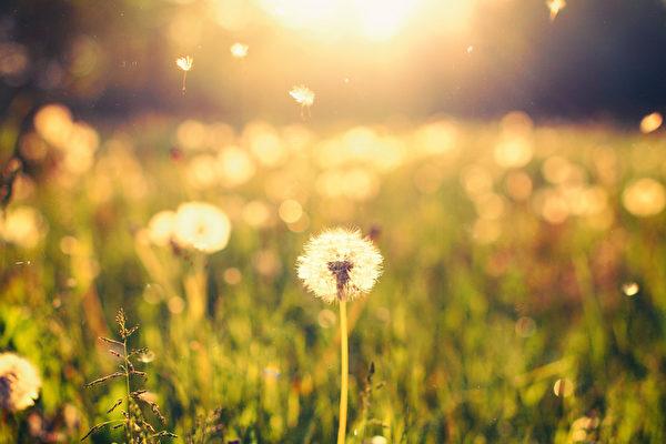 蒲公英在草地上在阳光背景(fotolia)