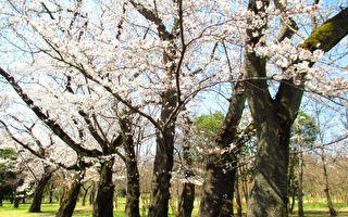 """清明节气就在眼前,天明气清,春阳煦煦万物逢春舒发。武藏野公园染井吉野樱已经花开半树,一般形容""""五分开""""。花见正当时。(容乃加/大纪元)"""