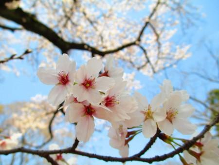 东京武藏野公园染井吉野樱团团绽放枝头。(容乃加/大纪元)