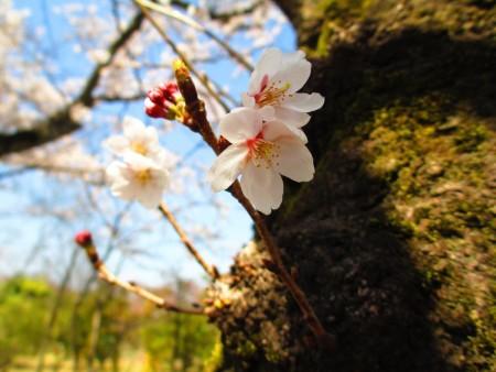 东京武藏野公园染井吉野樱从干上冒花颜。(容乃加/大纪元)
