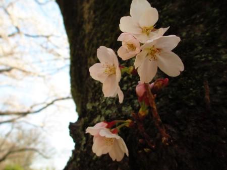 东京武藏野公园,直接从树干上冒长的染井吉野樱。(容乃加/大纪元)