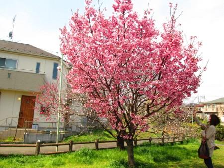 武藏野公园早开的樱花一树舞春风。(容乃加/大纪元)