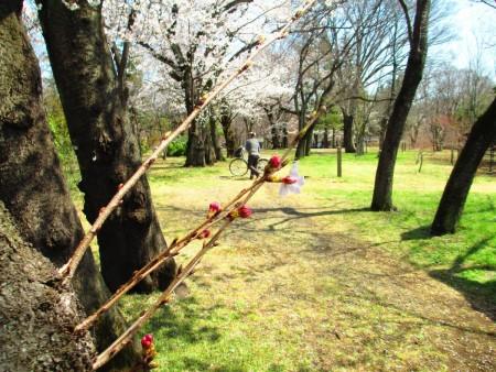 """清明节气来临,武藏野公园樱花、春花舒放邀人春游。放下心""""花见""""正是时候。(容乃加/大纪元)"""