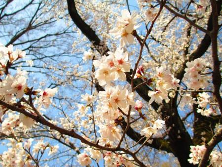染井吉野樱迎春,花开团团。(容乃加/大纪元)