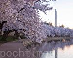 美国首府华盛顿樱花灿烂。(Rob Counts/大纪元)