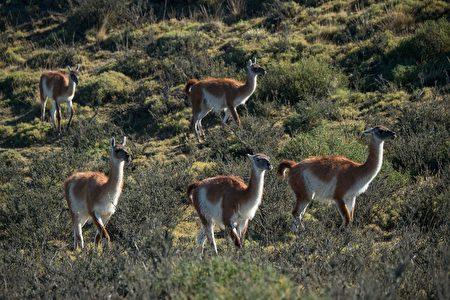智利百内国家公园羊驼。(MARTIN BERNETTI/AFP/Getty Images)