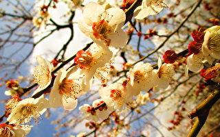 点点梅花天地春,东京乡土之森梅园白加贺梅树盛开。(容乃加/大纪元)