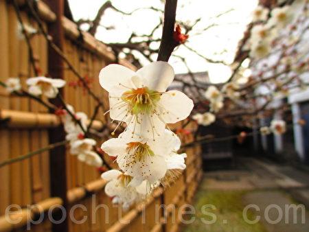 数点梅花春探头,东京乡土之森梅园幽景丽致。(容乃加/大纪元)