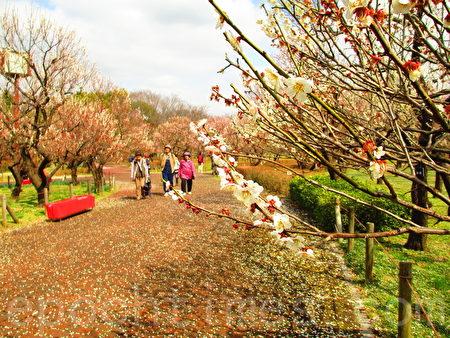 春天前线,梅花的幽景丽致,谱出人人心中叹造物、咏梅花、迎新春的诗歌。(容乃加/大纪元)