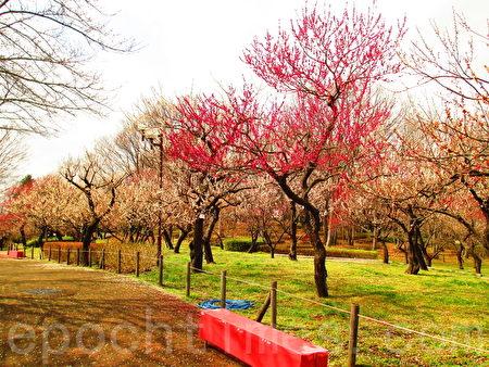 梅园红、白、粉花色舞缤纷,花姿韵雅幽致。东京乡土之森梅园幽景丽致。(容乃加/大纪元)