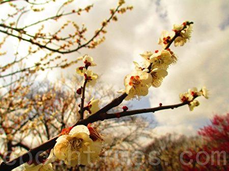 点点梅花天地春,红、白、粉花色舞缤纷,花姿雅韵幽致。(容乃加/大纪元)