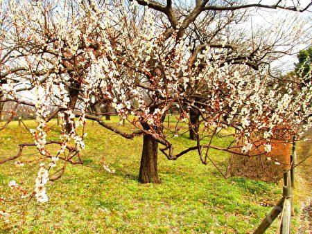 白梅素艳雪凝树,清香满花枝,正是赏花览春好时光。(容乃加/大纪元)