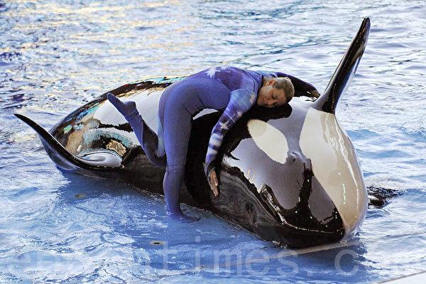 奧蘭多海洋世界的虎鯨(又稱殺人鯨)表演(岑華穎/大紀元)