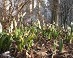 中央公园的雪花莲已经开放,这是纽约春天到来的标志。(王姿懿/大纪元)