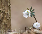 3月12日,韩国京畿道军浦区修理山美丽优雅的野花报春。图为边山银莲花。(全宇/大纪元)