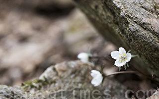 3月12日,韓國京畿道軍浦區修理山美麗優雅的野花報春。圖為邊山銀蓮花。(全宇/大紀元)
