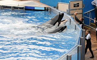 海洋世界明年引入自然虎鲸观赏