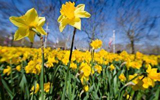 威尔士国花──金黄明艳的黄水仙