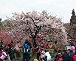 阿里山花季为期1个月,每年3、4月初春,是阿里山国 家森林游乐区花开正盛之际,尤以樱花之姿为盛。 (嘉义林管处提供/中央社)