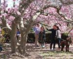 2016年3月18日,华盛顿特区林肯纪念馆的赏樱人潮。(Mark Wilson/Getty Images)