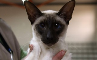 國際貓展上的一隻暹羅貓(JACK GUEZ/Getty Images)